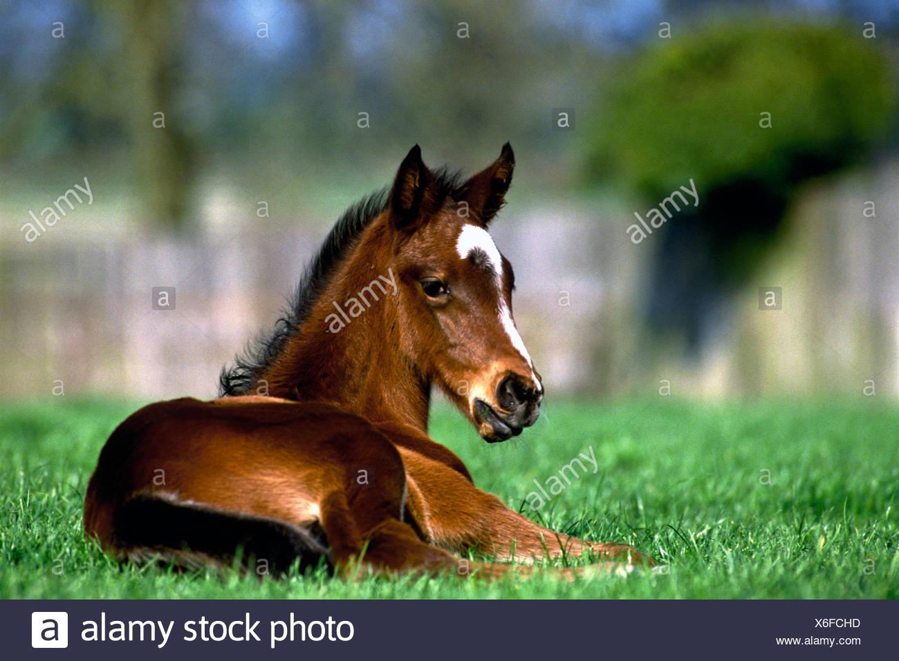 Thoroughbred Horse, Ireland - Stock Image