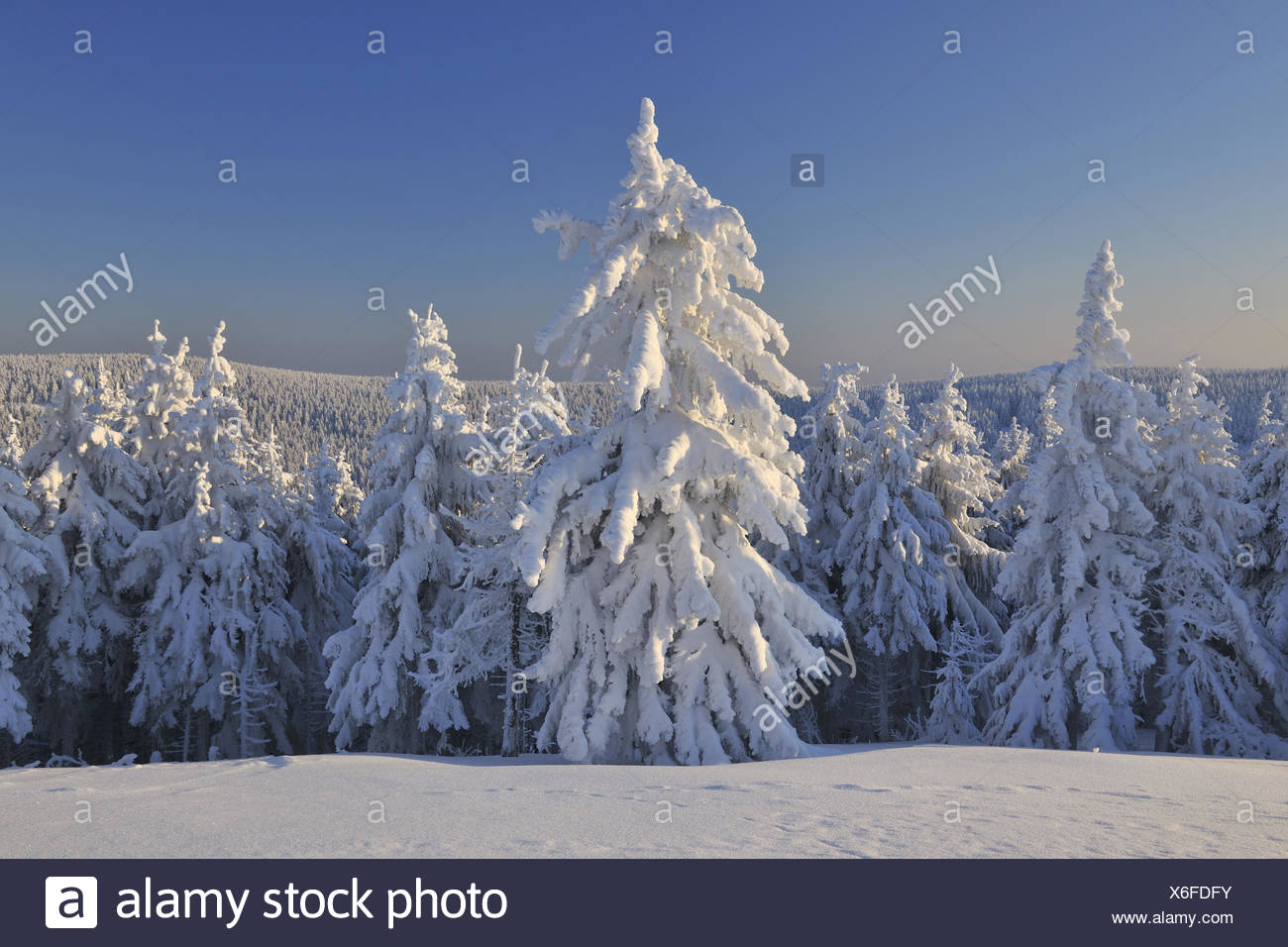 Snowy conifers, winter, Schneekopf, Gehlberg, Thuringia, Germany, - Stock Image
