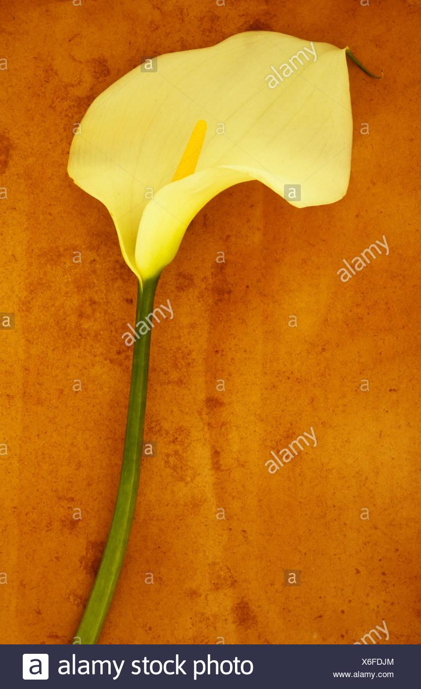 Arum lily Zantedeschia aethiopica 'Crowborough'. Studio shot of  single creamy white flower on long green stem lying on beige - Stock Image