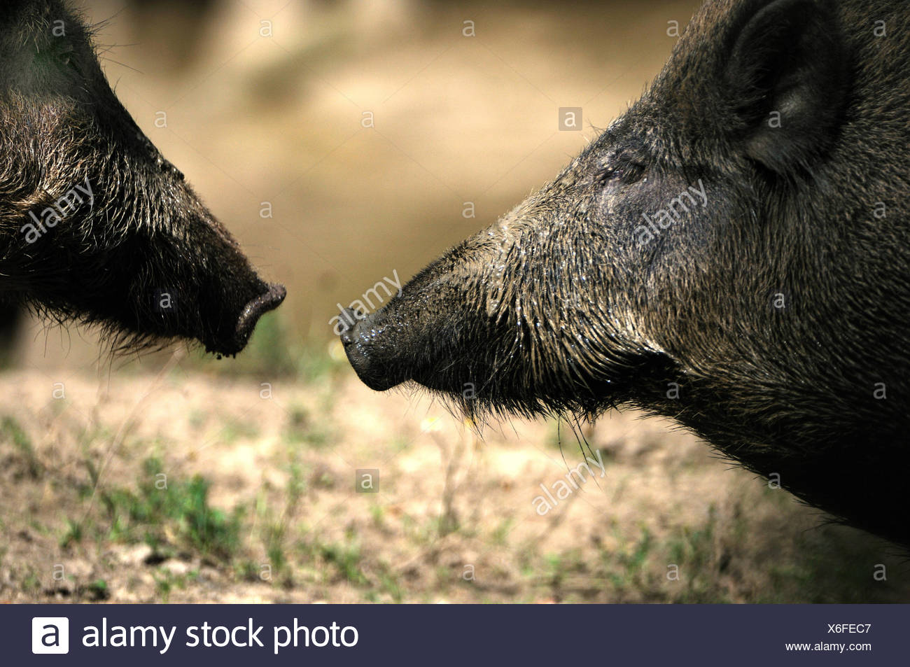 Wild boar Sus scrofa scrofa sow sows wild boars cloven-hoofed animal pigs pig vertebrates mammals wild sows animal animals Ge - Stock Image