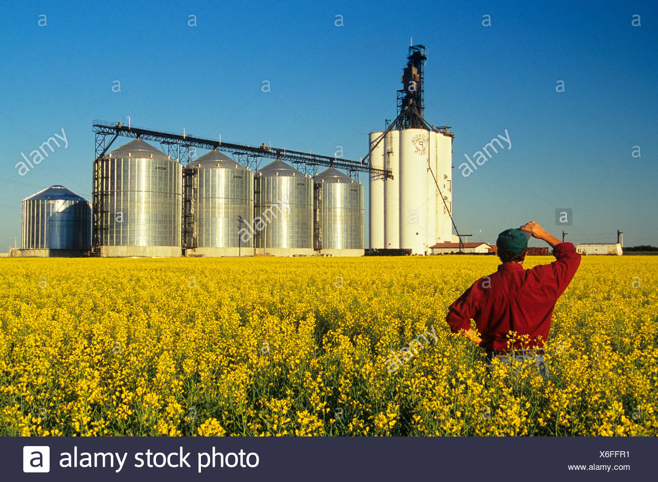 Farmer in bloom stage canola field with inland grain terminal in the background, Morris, Manitoba, Canada. - Stock Image