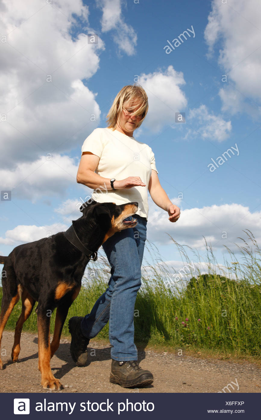 mixed breed dog (Canis lupus f. familiaris), woman training the order Heel with a Dobermann-mix, Germany - Stock Image
