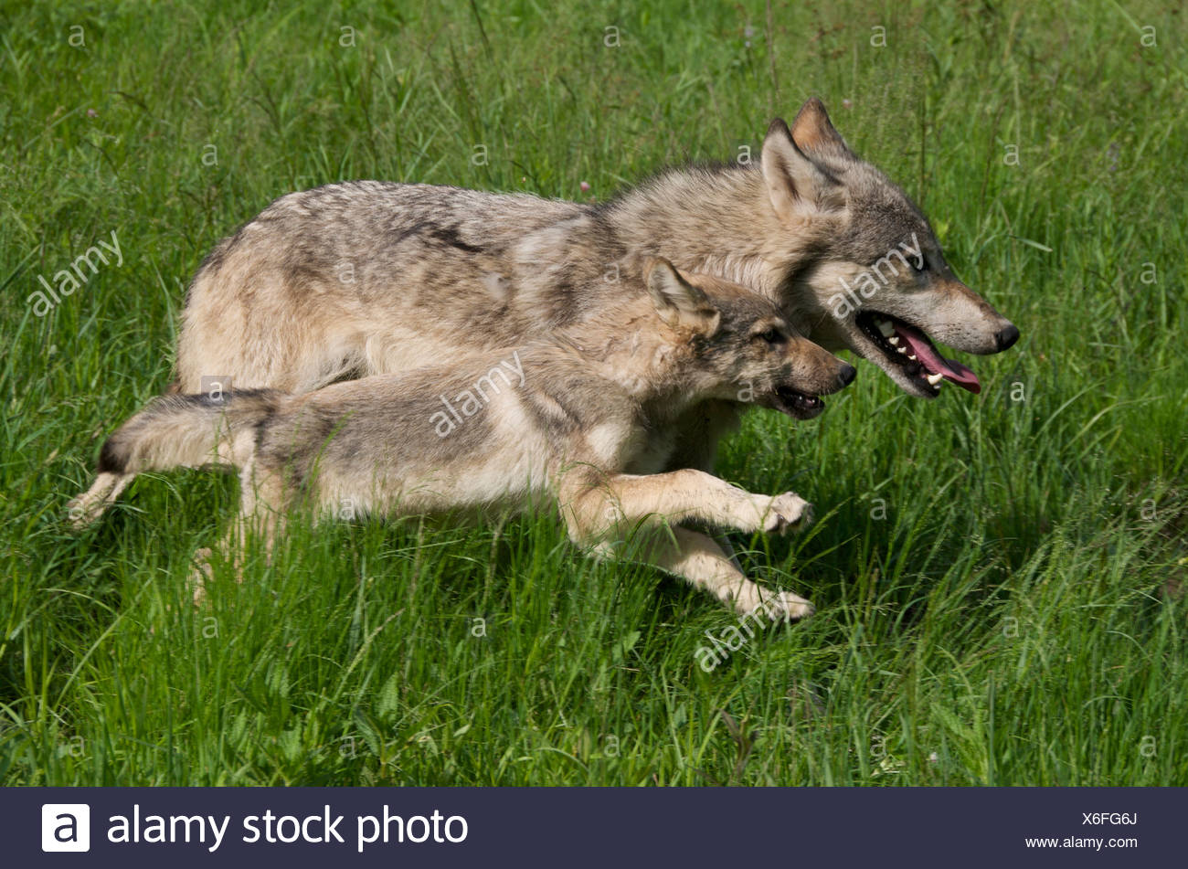 Wolf Pup and parent (Canus lupus) running in Boundary Waters Canoe Area, Minnesota, USA, North America - Stock Image