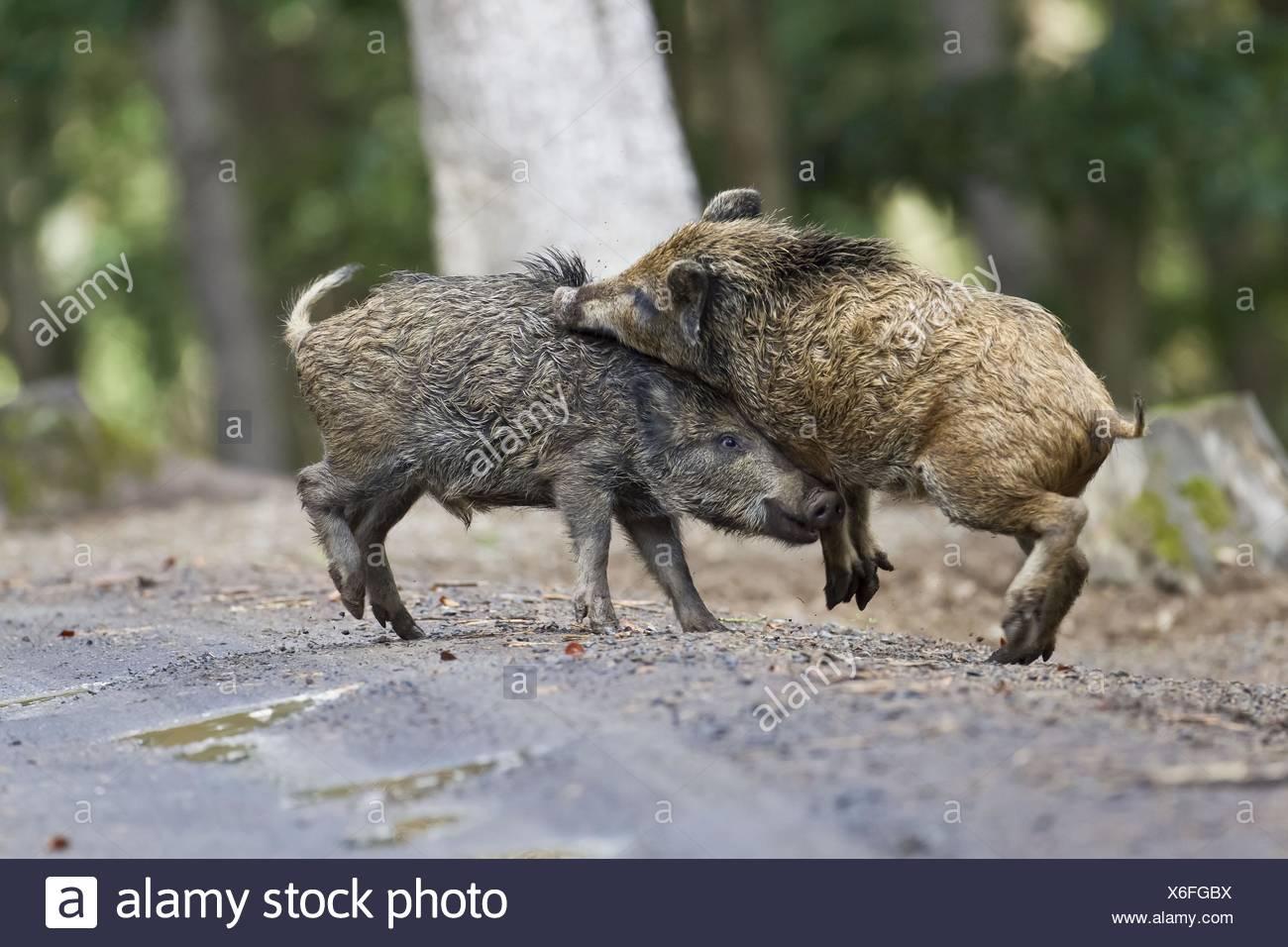wild hogs - Stock Image