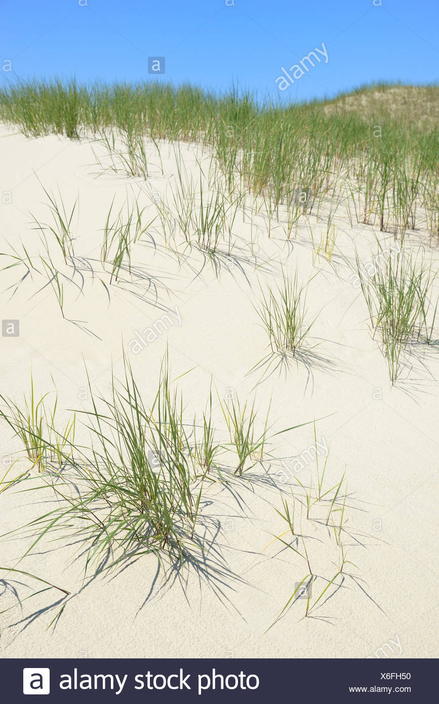 Dunes with marram gras (Ammophila), Norderney, East Frisian Islands, Lower Saxony, Germany - Stock Image