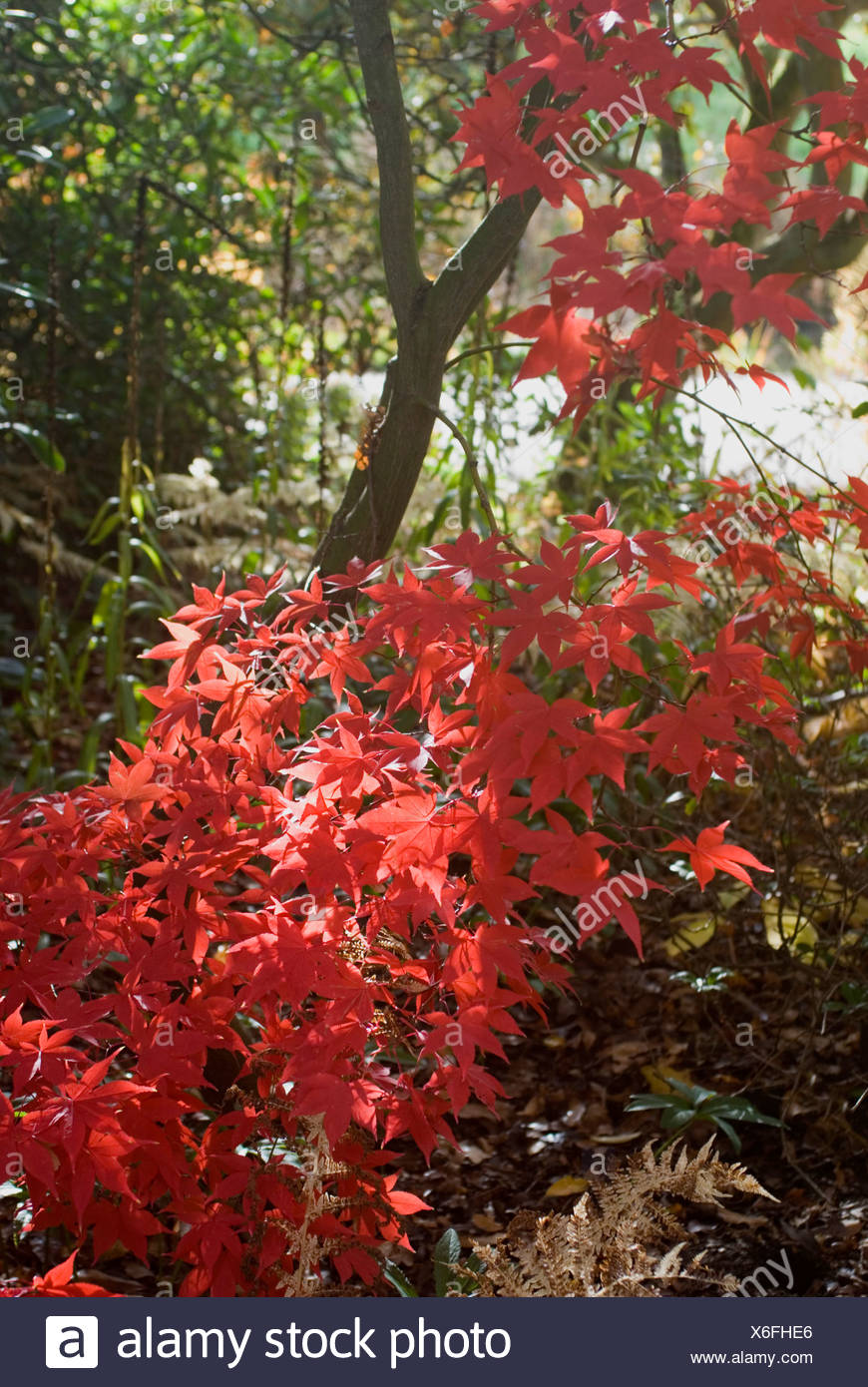 Acer Palmatum Red Baron In Autumn Stock Photo 279396830 Alamy