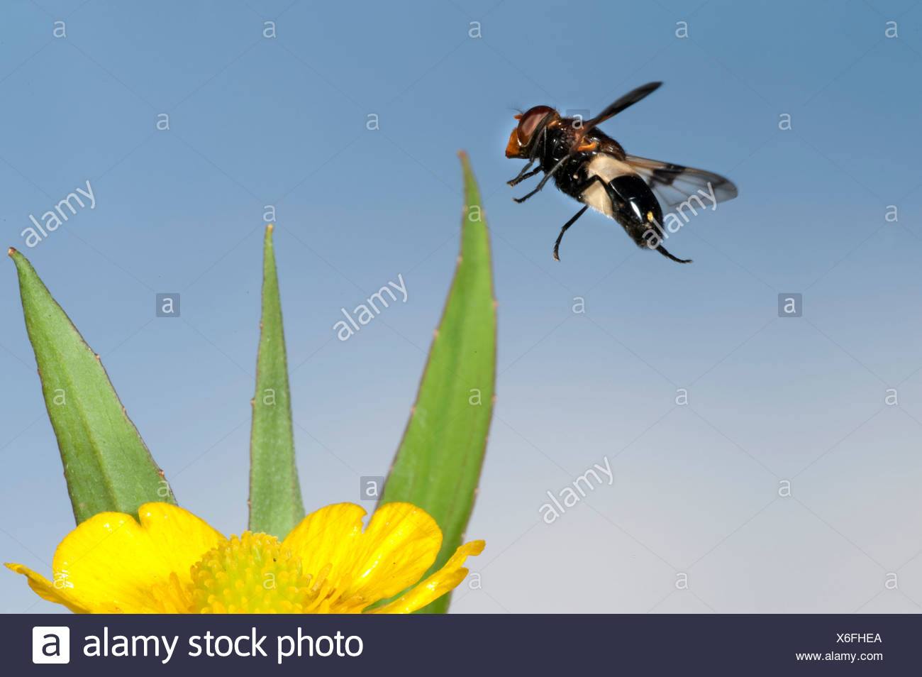 Hoverfly Volucella pellucens In flight free flying High Speed Photographic Technique - Stock Image