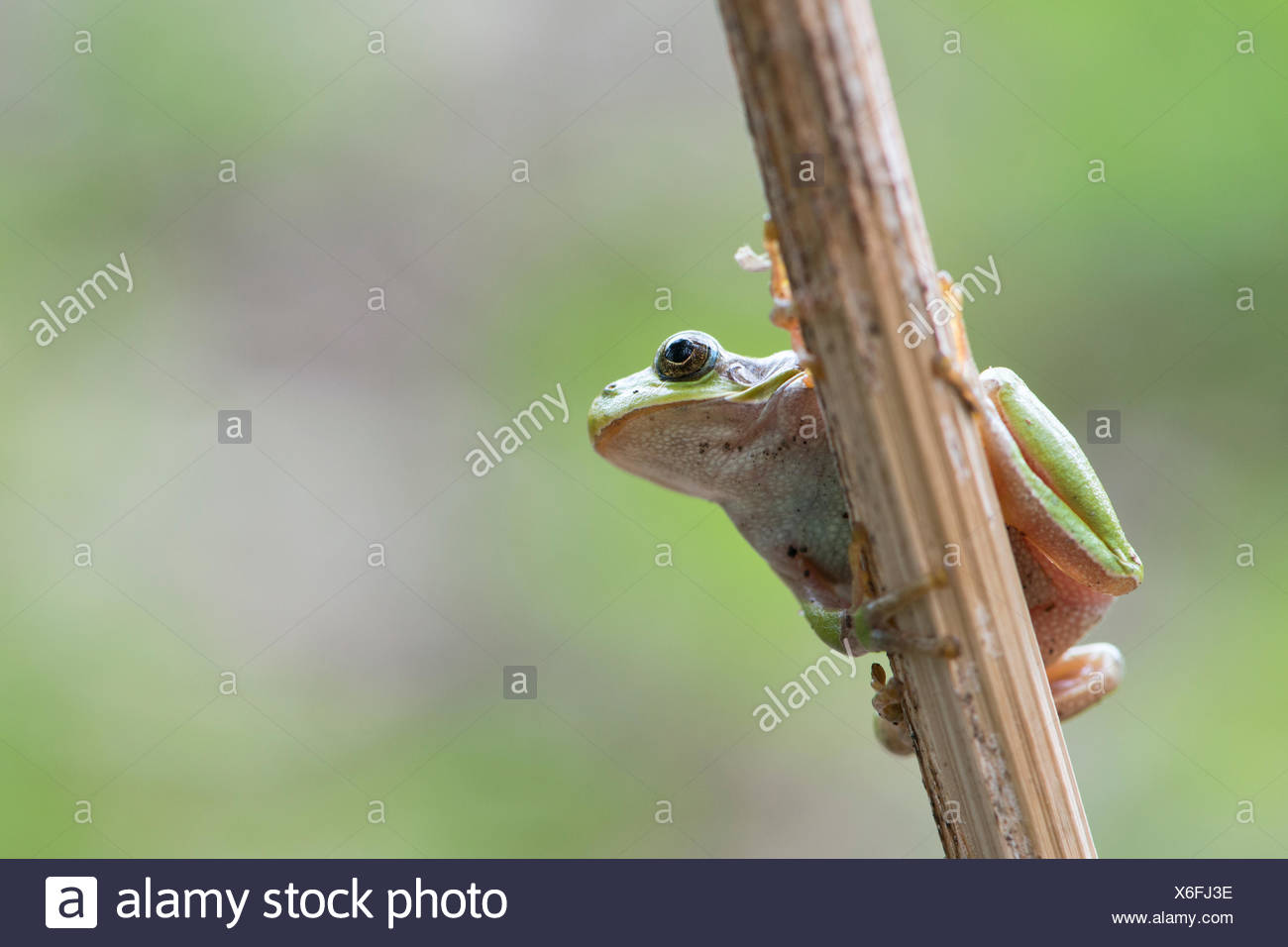 Tree frog (Hyla arborea) on stalk, Rhineland-Palatinate, Germany - Stock Image