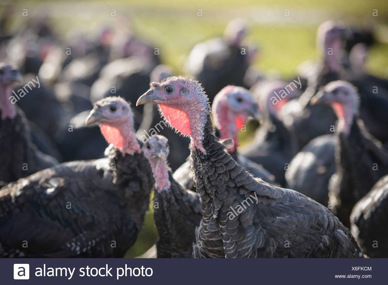 Turkeys on free range farm - Stock Image
