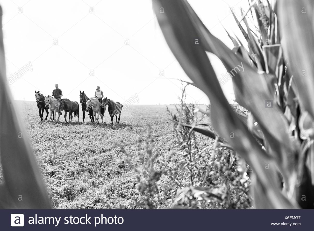 B&W image of man and woman riding and leading six horses in field - Stock Image