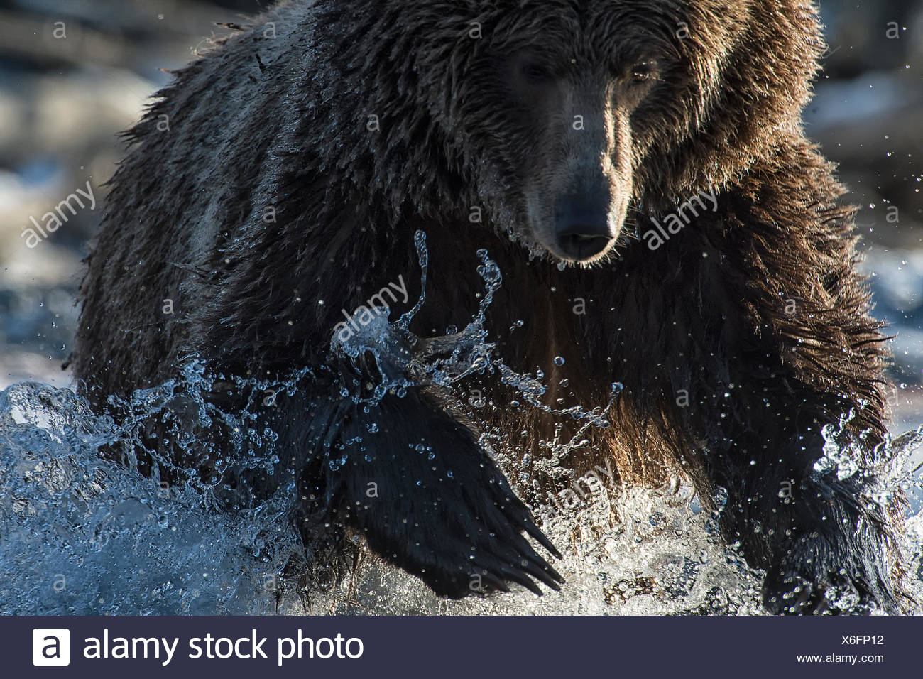 A grizzly bear hunting chum salmon in the Kluane River. - Stock Image