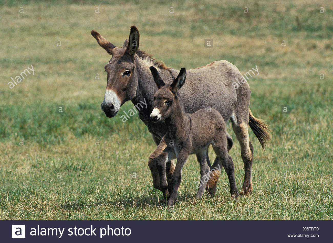 GREY DONKEY, A FRENCH BREED, MARE WITH FOAL TROTTING THROUGH MEADOW - Stock Image