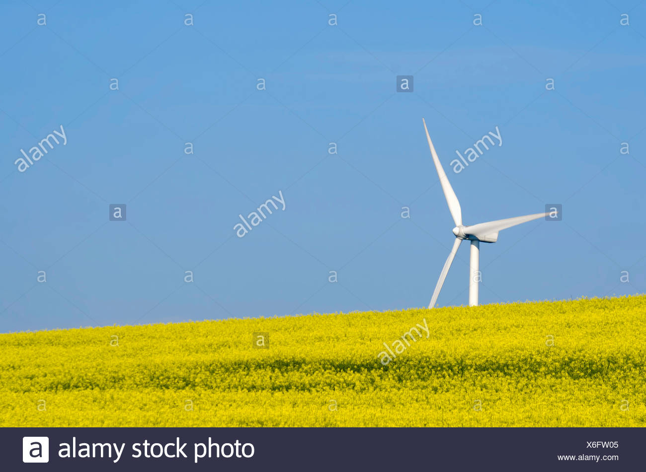 a rapeseed field with a wind turbine sin the background - Stock Image