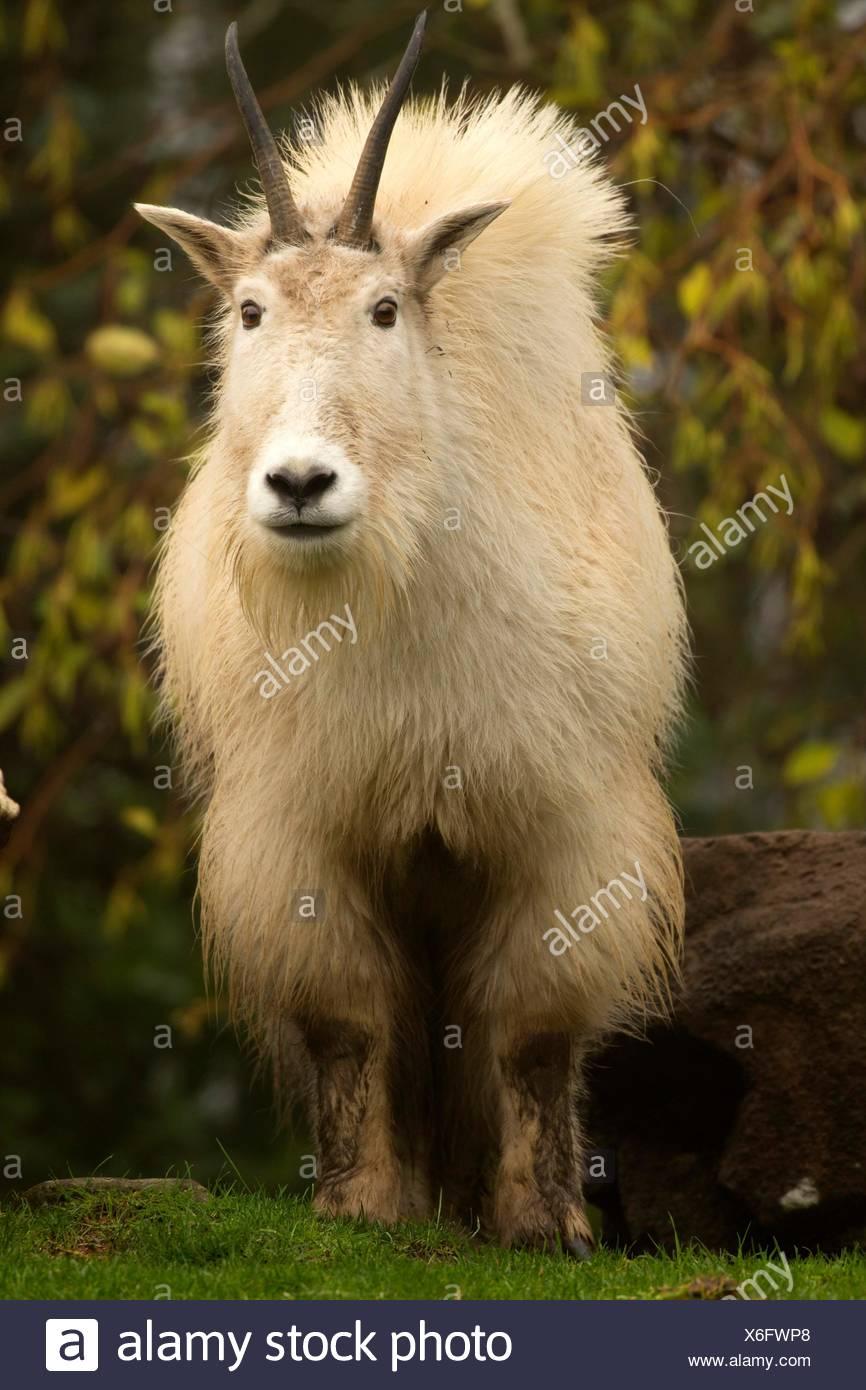 Mountain goat (Oreamnos americanus), Oregon Zoo, Washington Park, Portland, Oregon. - Stock Image