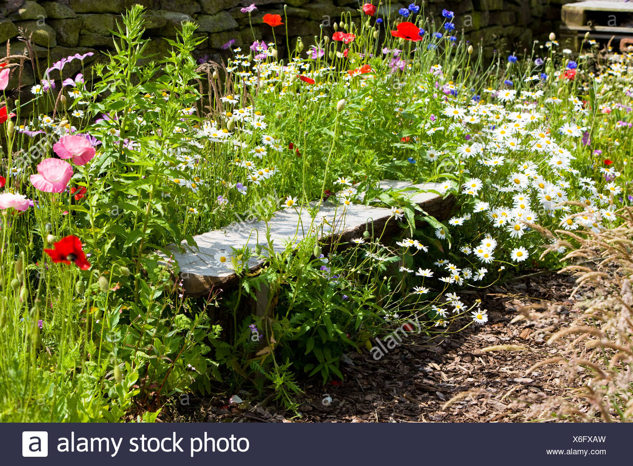 a bench surrounded by arable weeds - Stock Image