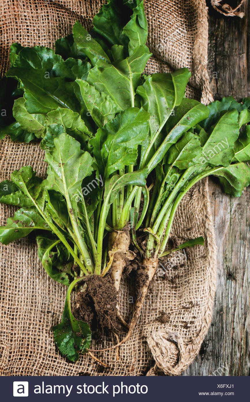 Bunch of young sugar beet roots with soil and haulm over sacking. Top view. - Stock Image