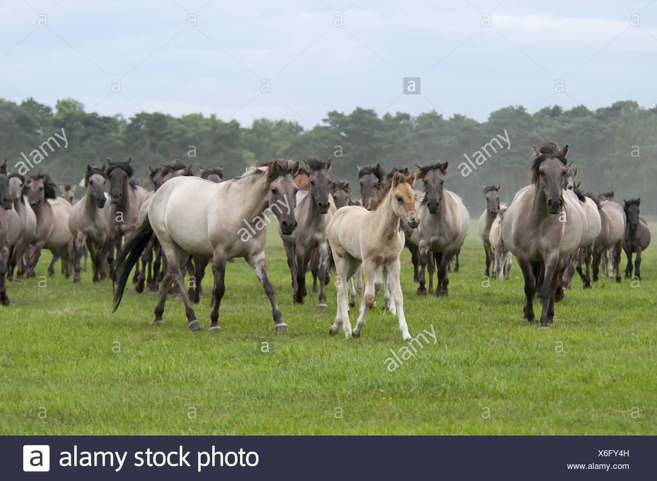 Wild herd of Duelmen Ponies with foals, Germany Stock Photo