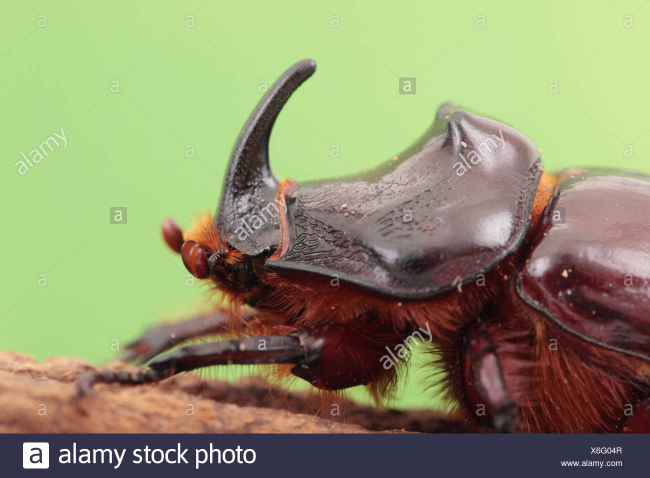 Close up portrait of an European rhinoceros beetle, Oryctes nasicornis, a large flying beetle belonging to the family Dynastinae. - Stock Image
