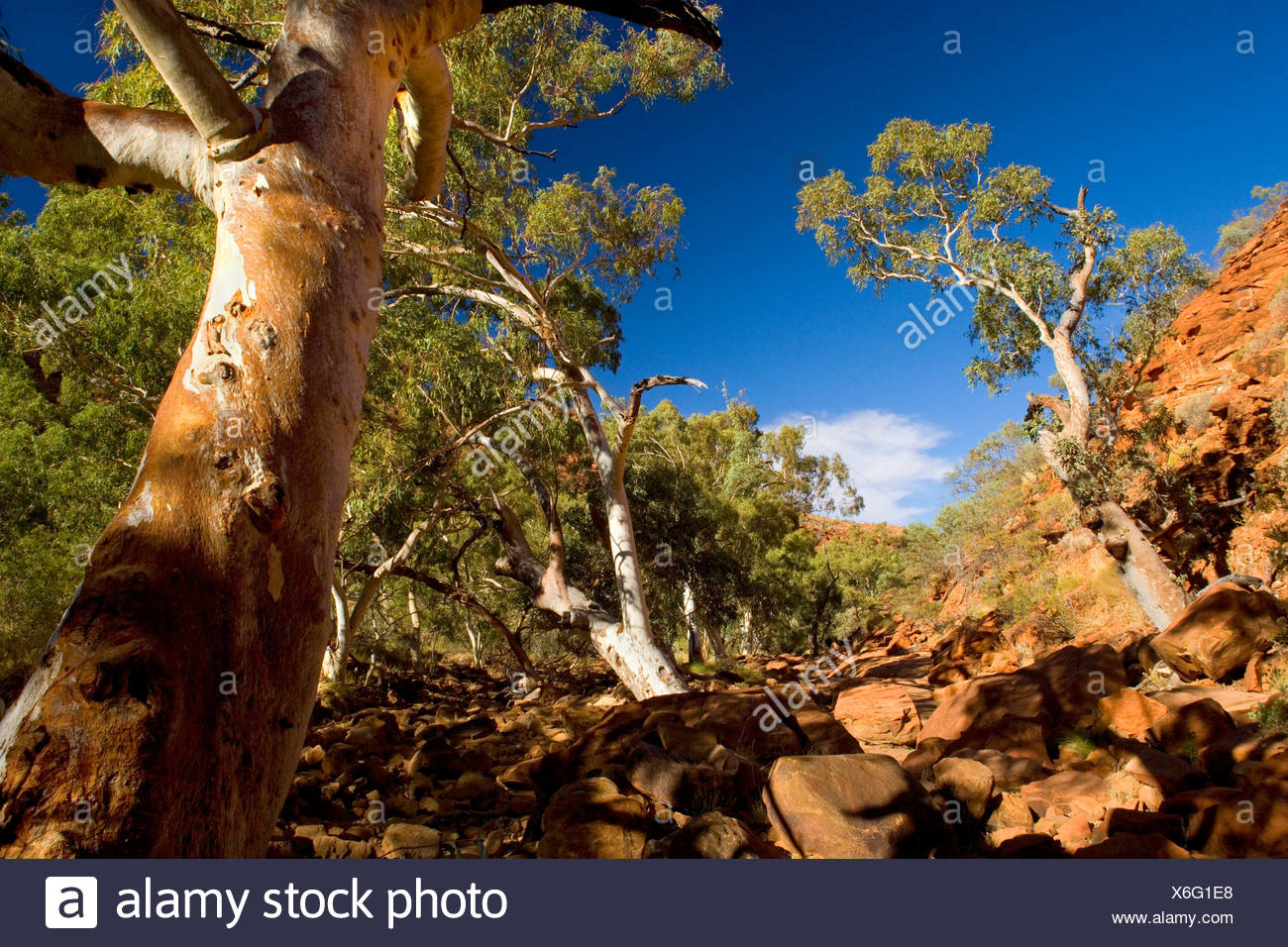 Longbeak eucalyptus, river redgum, river red gum (Eucalyptus camaldulensis), growing on the floor of Kings Canyon in the dried-up river bed of Kings river, Australia, Northern Territory, Kings Canyon National Park - Stock Image