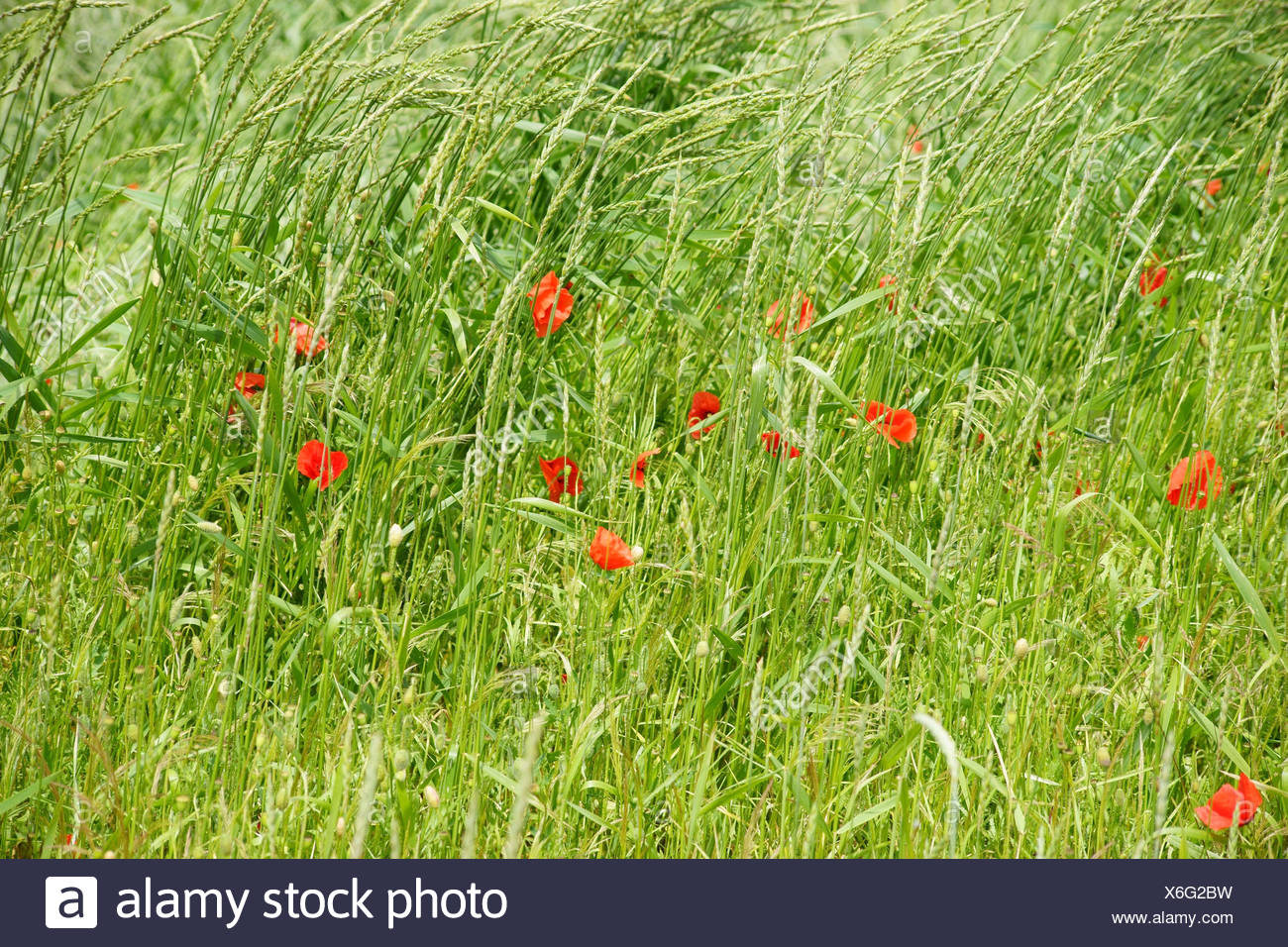 Single bright shining poppy blossom on the edge of a field, in the midst of grass. - Stock Image
