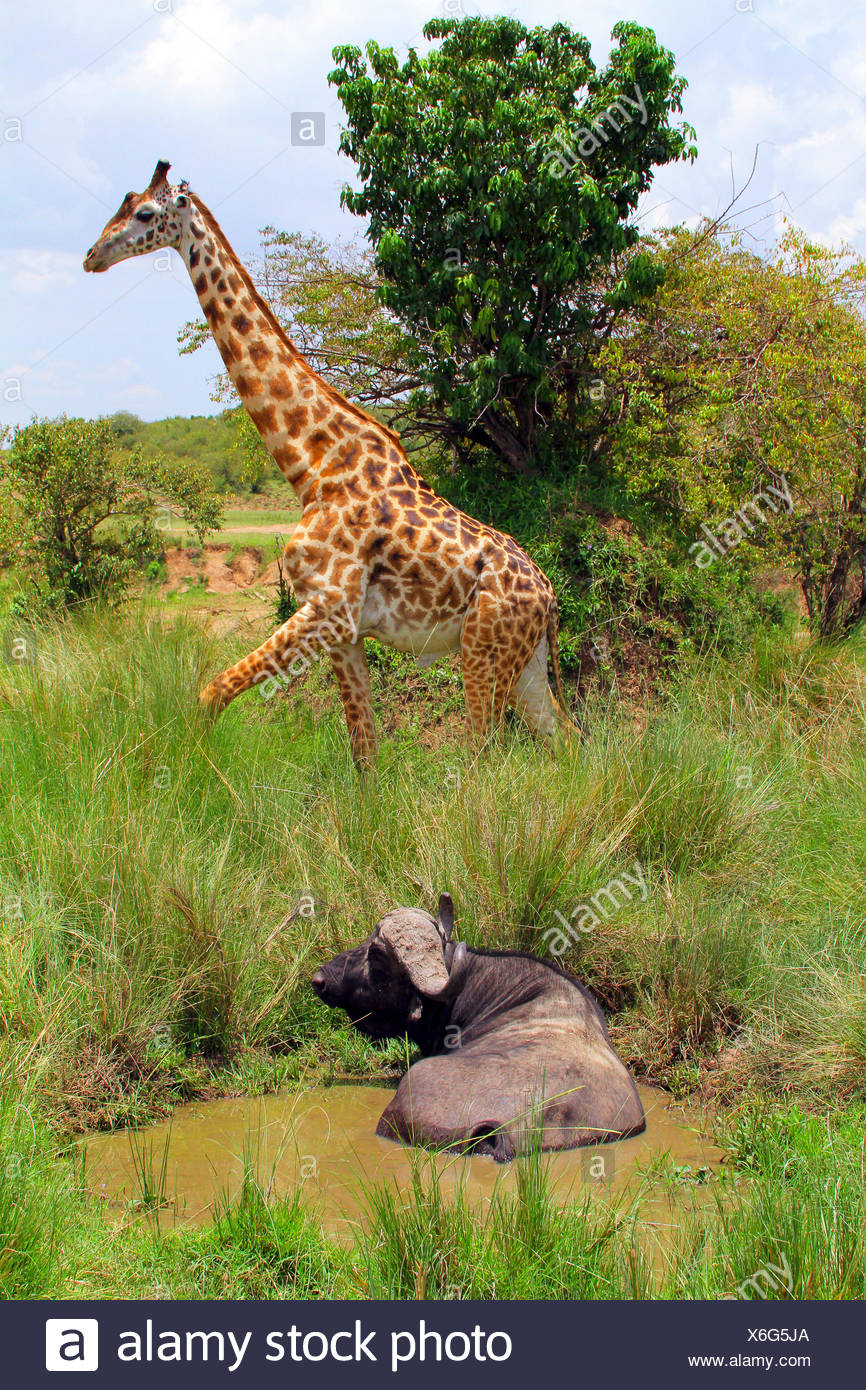 Masai giraffe (Giraffa camelopardalis tippelskirchi), buffalo in a pond with a Masai giraffe in the background, Africa - Stock Image