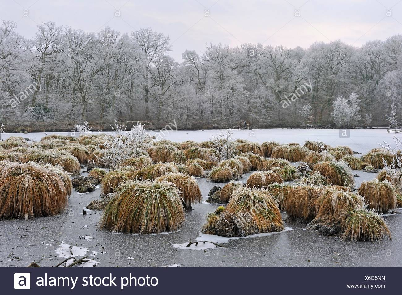 Greater tussok-sedge (Carex paniculata) in the pond of Guiperreux, Forest of Rambouillet, Haute Vallee de Chevreuse Regional Natural Park, Yvelines - Stock Image