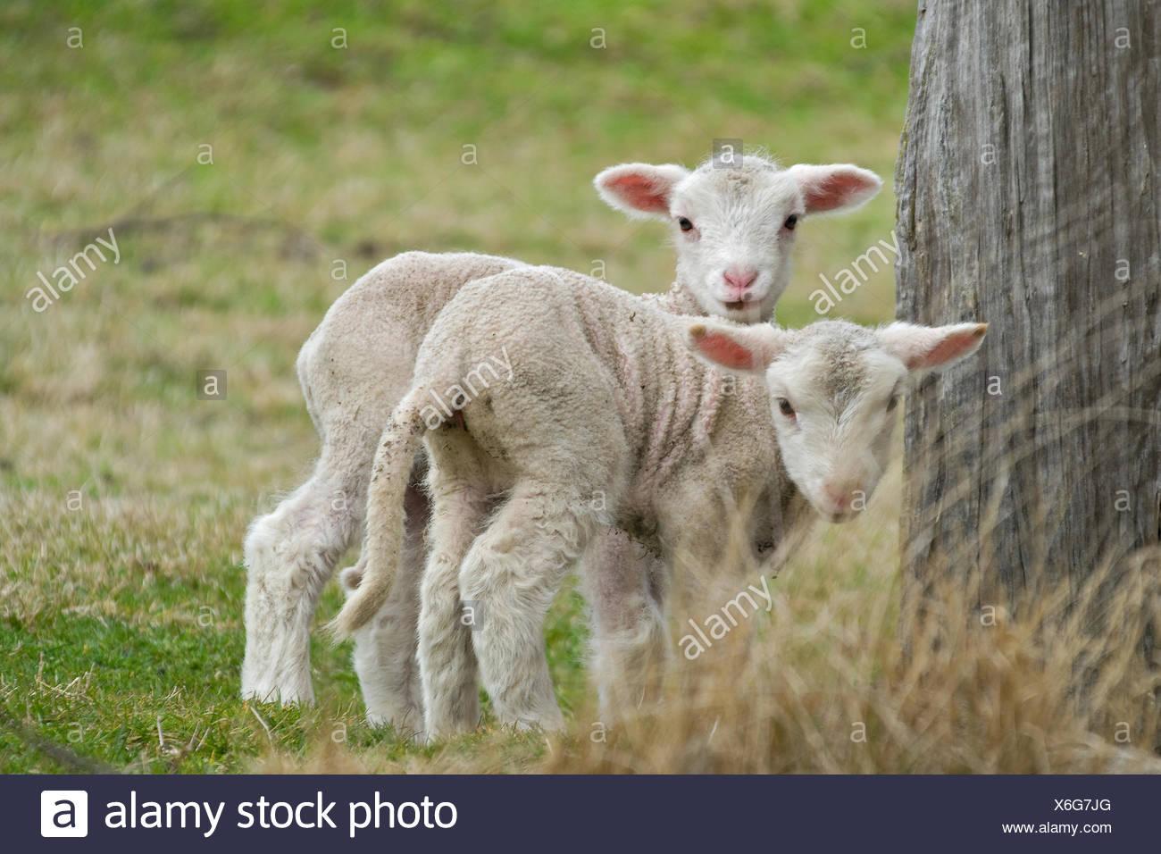 animals sheep farm - Stock Image