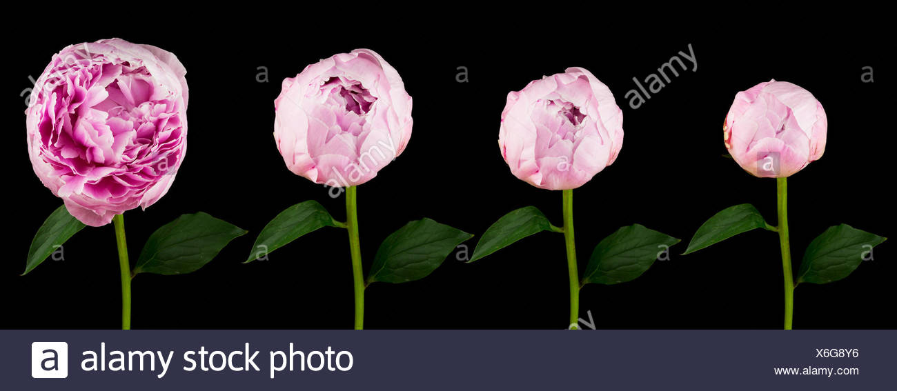 Pfingstrose, vier verschiedene Stadien der aufgehenden Blume vor schwarzem Hintergrund - Stock Image