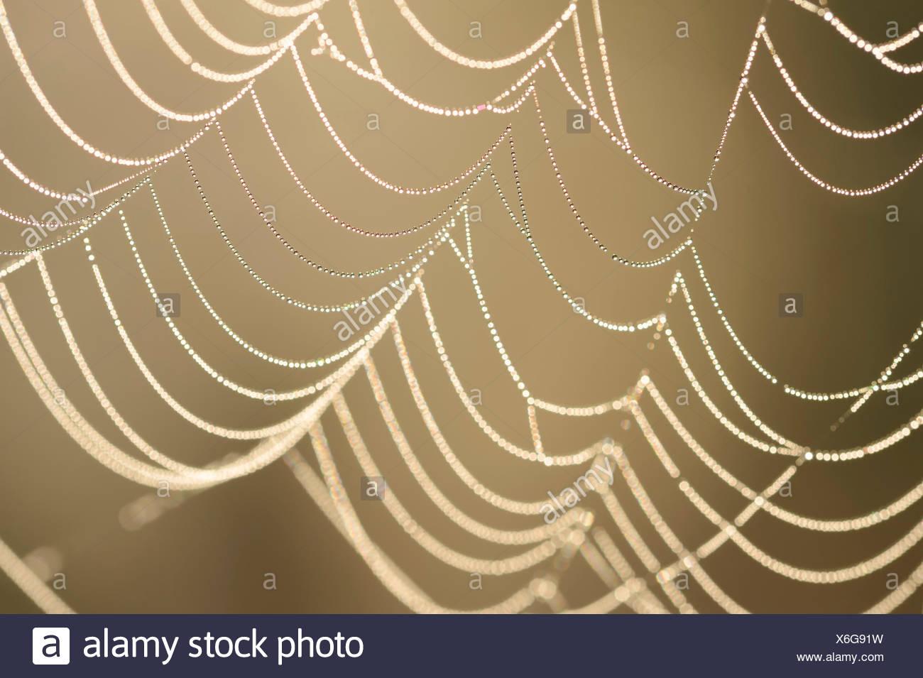 Spider web with dew drops, North Rhine-Westphalia, Germany - Stock Image