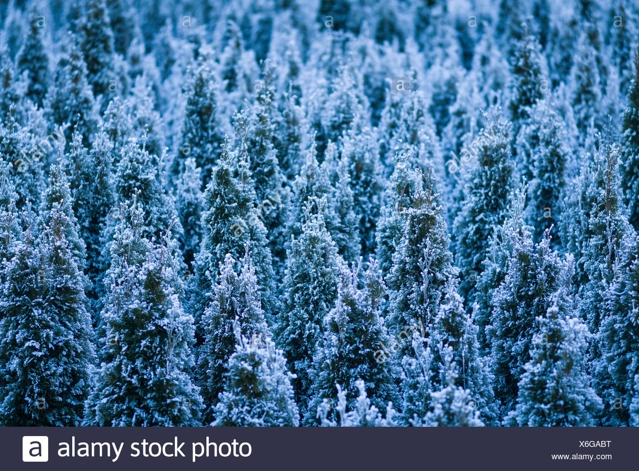 Austria, Tyrol, Stams, frozen evergreen trees, winter - Stock Image
