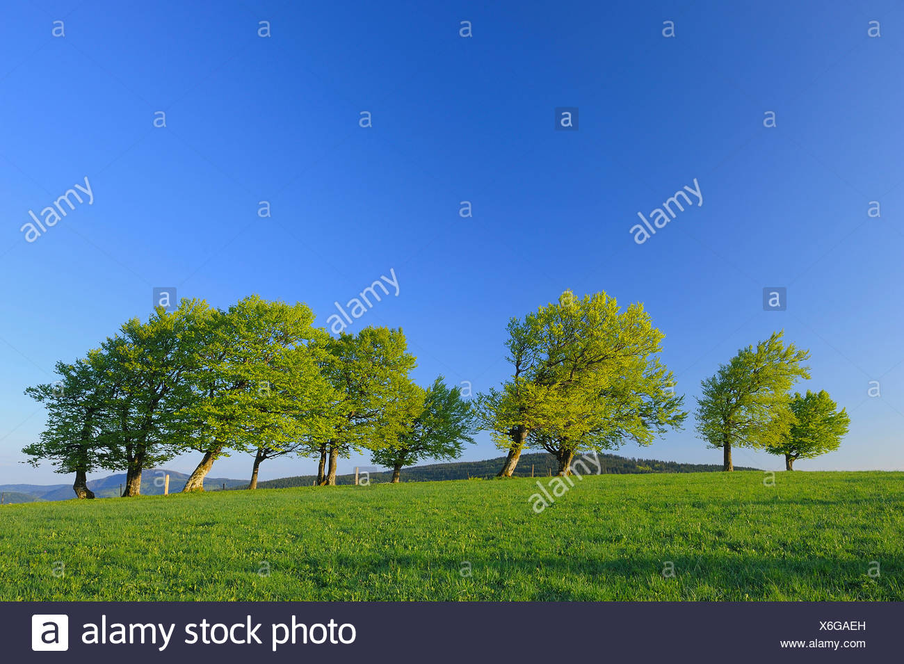 common beech (Fagus sylvatica), skew-whiff beeches in a meadows in spring, Germany, Baden-Wuerttemberg, Black Forest, Schauinsland - Stock Image