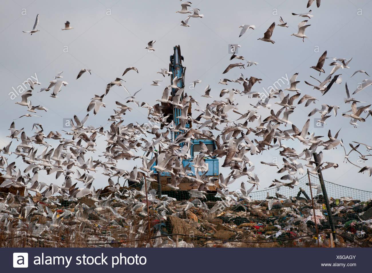 Gulls mainly Herring and Black-headed Gulls on rubbish tip Edgfield Norfolk winter - Stock Image