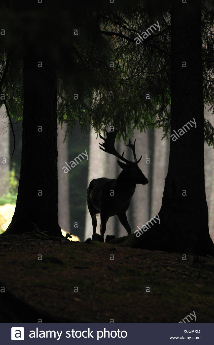 fallow deer deer stags stag cloven-hoofed animal antler Cervid Dama Dama autumnal forest animal animals Germany Europe, - Stock Image