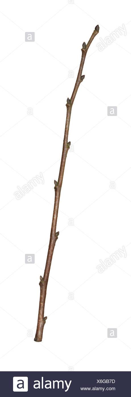 English Elm - Ulmus minor var.vulgaris - winter twig - Stock Image