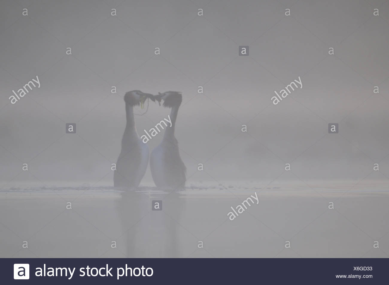 Parade of Great Crested Grebes in the mist - Grandlieu France - Stock Image