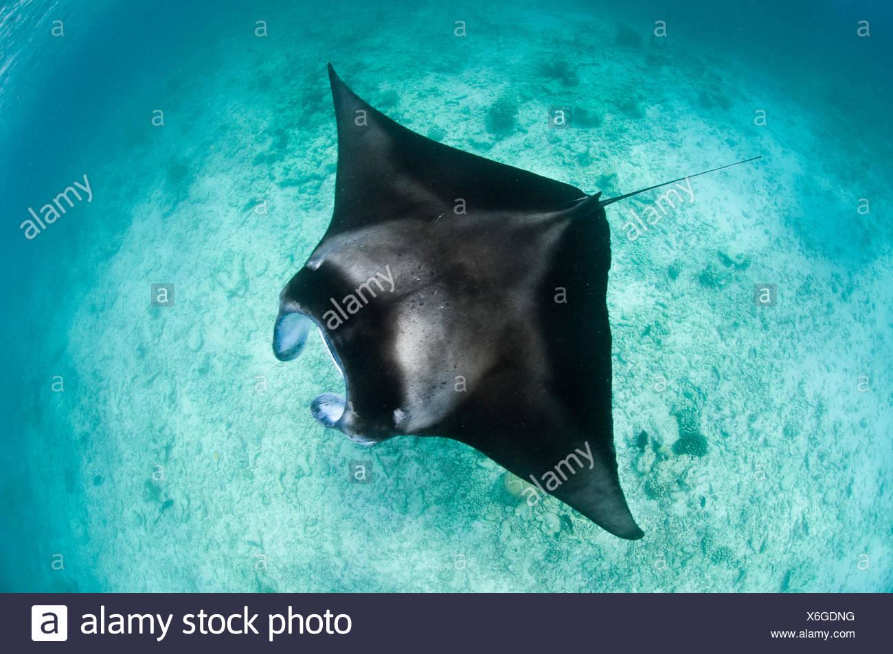 Large Manta ray (Manta birostris) feeding on plankton in very shallow water, viewed from the surface. Hanifaru Lagoon, Baa Atoll, Maldives. Indian Ocean. - Stock Image