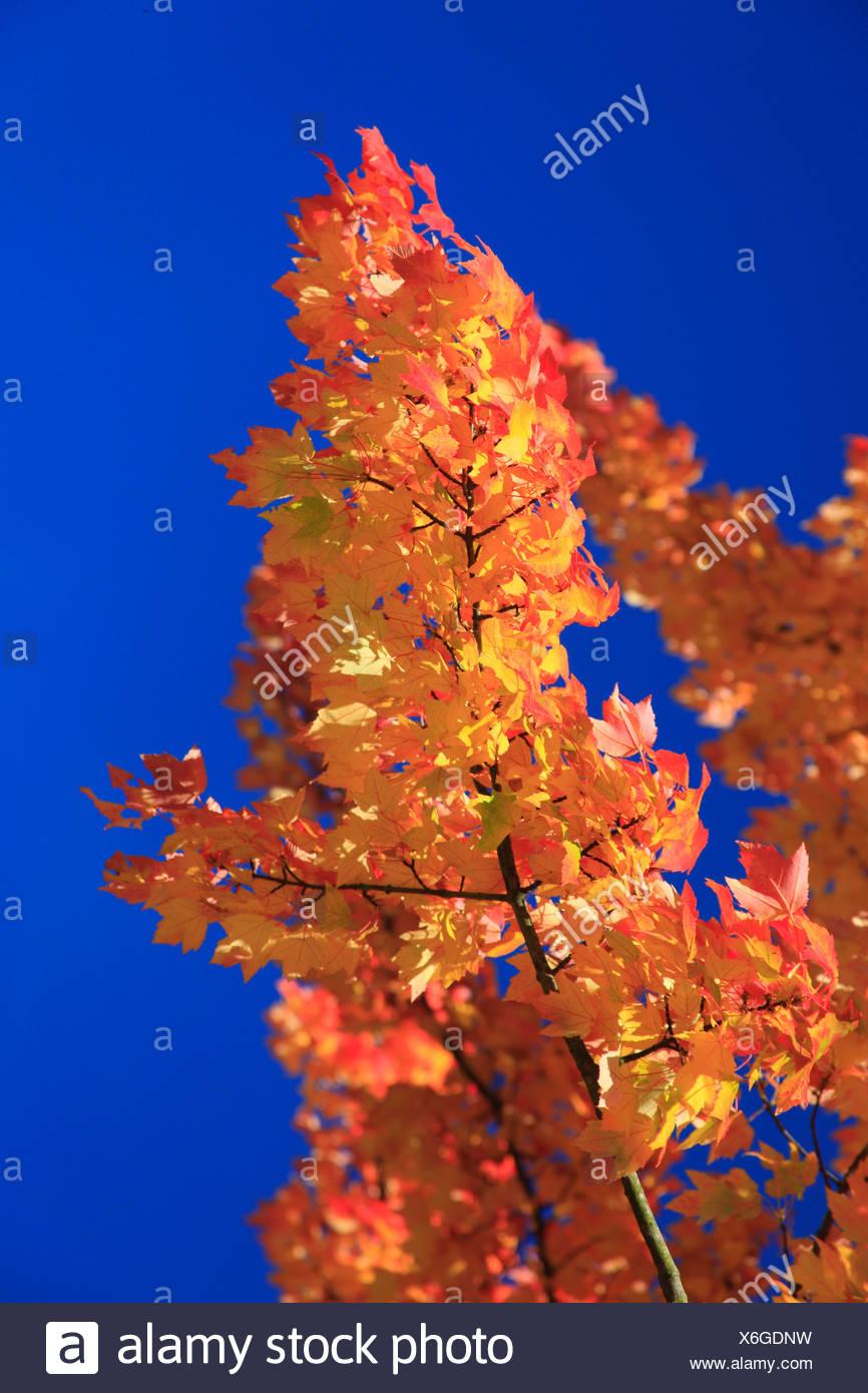 Maple twig in autumn - Stock Image
