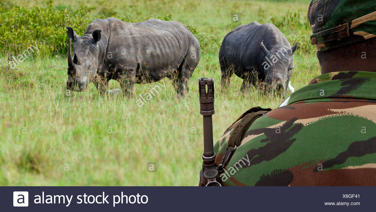 Endangered White Rhinoceros or Square-lipped Rhinoceros (Ceratotherium simum), protected by a ranger with a gun - Stock Image