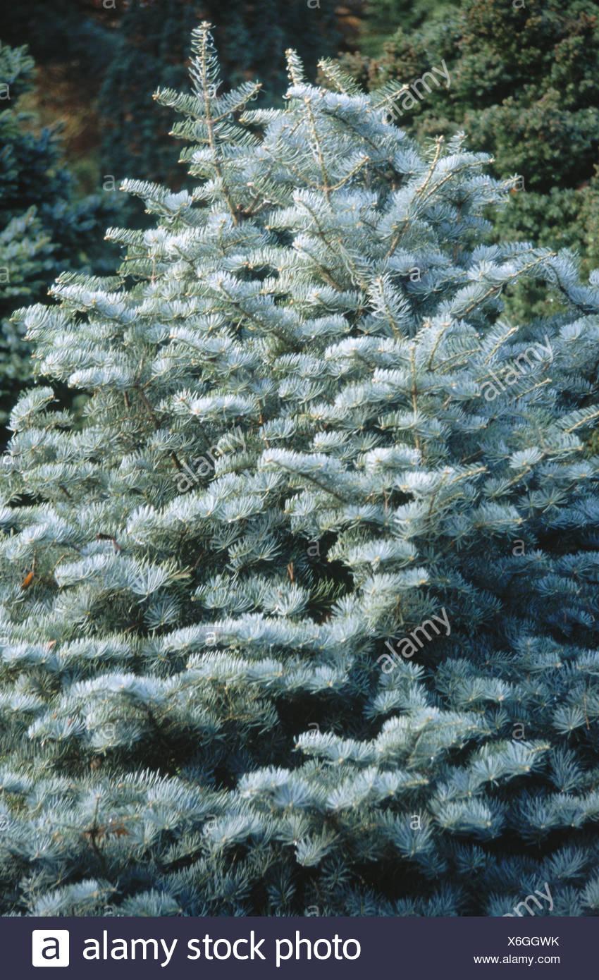 Silver Fir Abies Concolor Compacta Stock Photo 279418319 Alamy