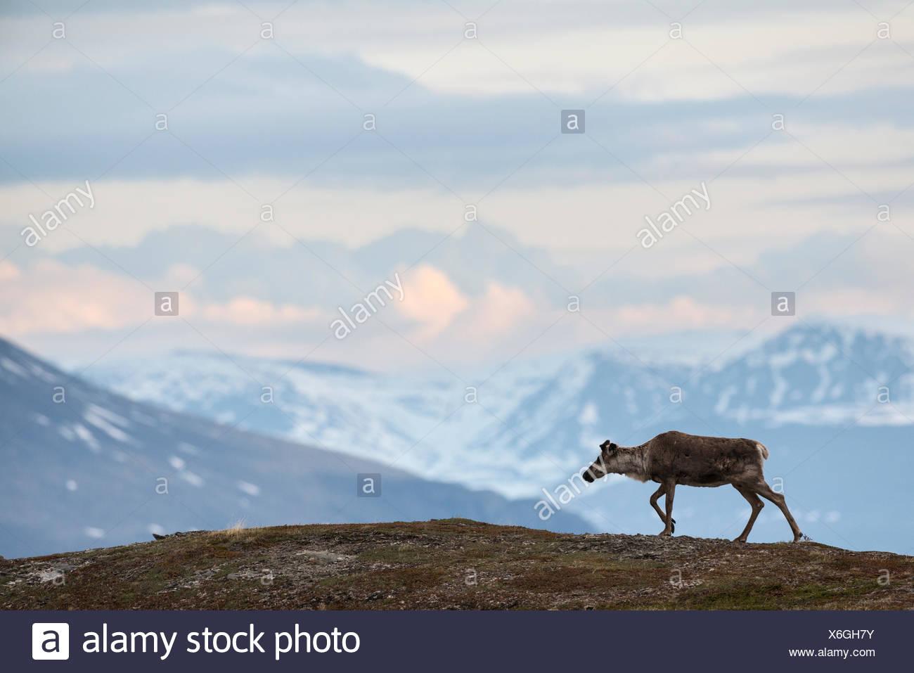 Reindeer, Rangifer tarandus, walking in mountain landscape. - Stock Image