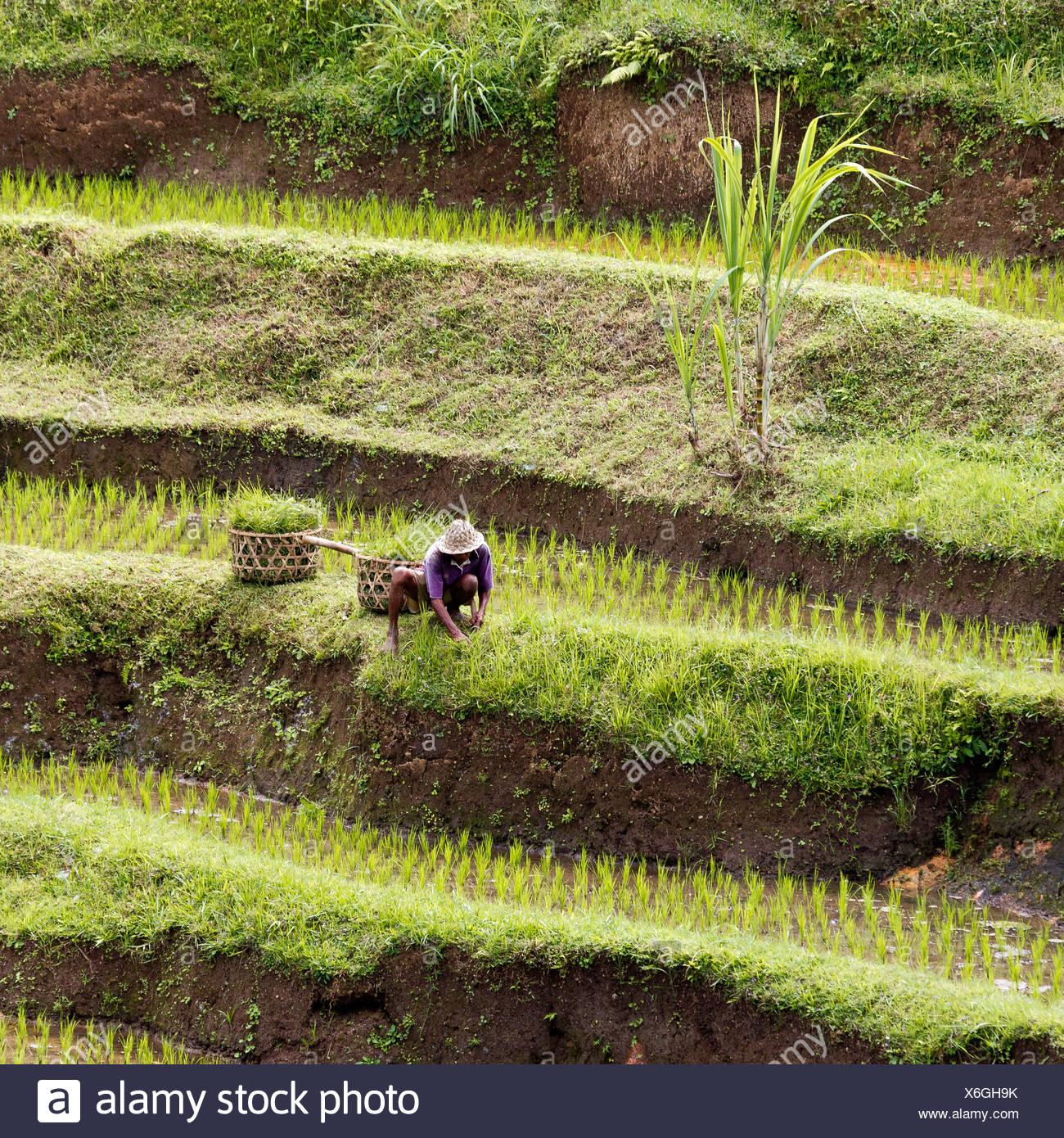 Rice terraces near Ubud, central Bali, Bali, Indonesia, Southeast Asia - Stock Image