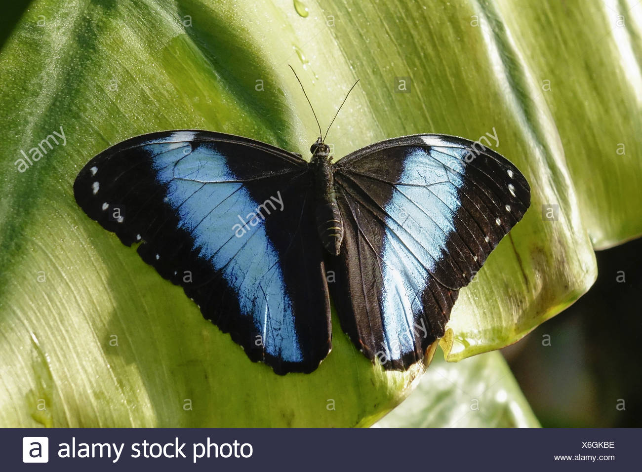 Tropischer Schmetterling, Blauer Morphofalter (Morpho peleides) Stock Photo