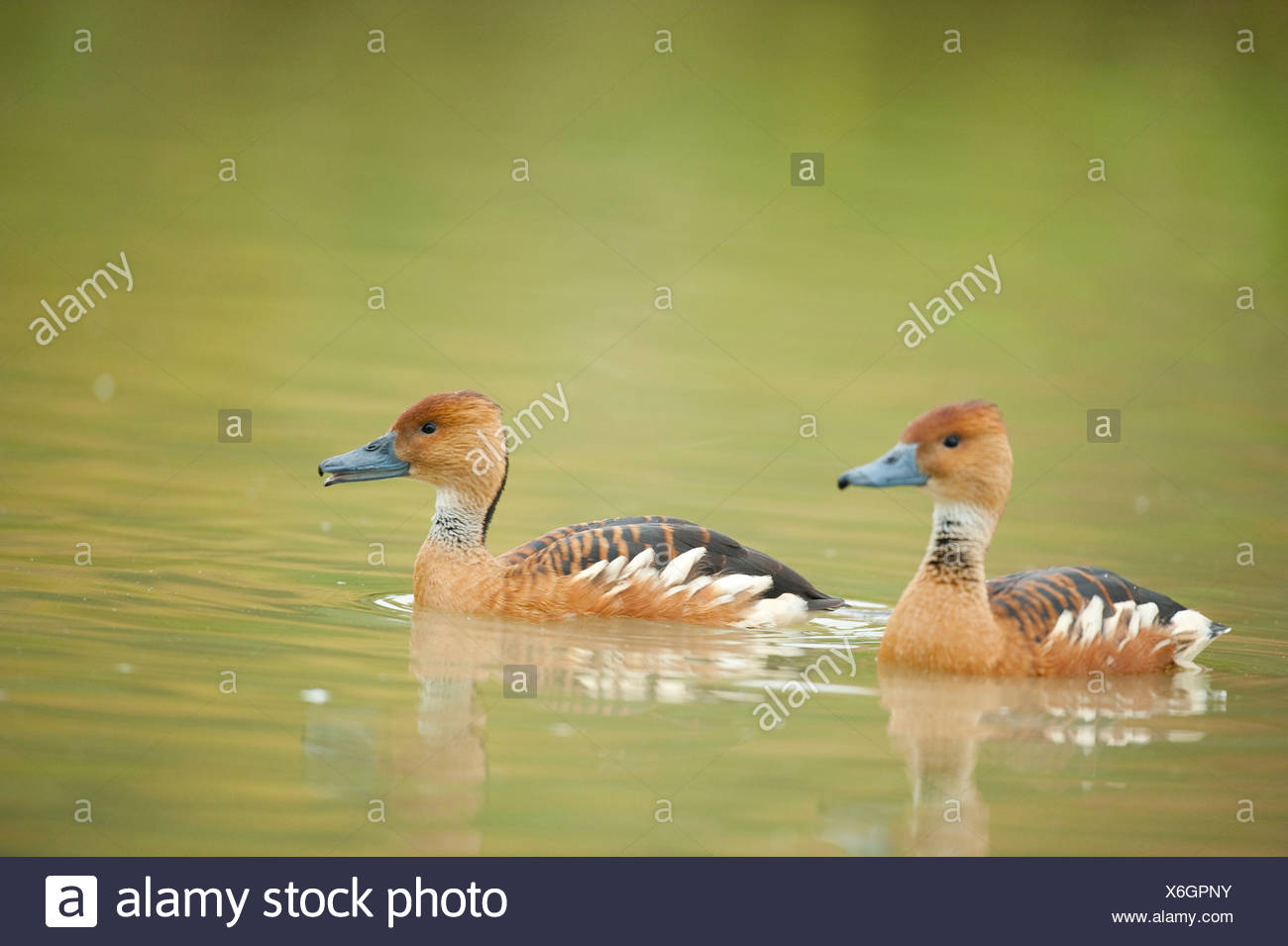 Fulvous Whistling Duck Dendrocygna bicolor UK Stock Photo