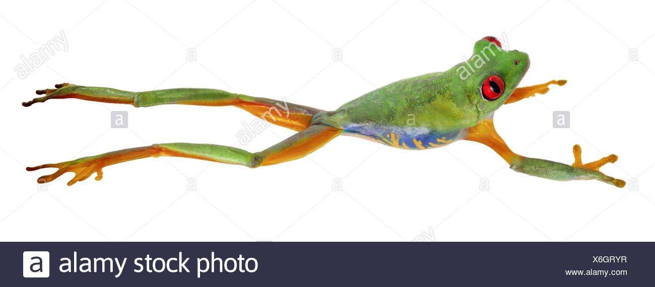 red-eyed treefrog, redeyed treefrog, redeye treefrog, red eye treefrog, red eyed frog (Agalychnis callidryas), jumping Stock Photo