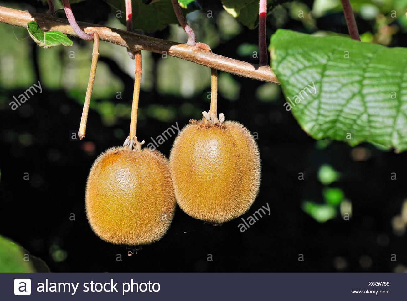 Kiwi Fruit or Chinese Gooseberry (Actinidia deliciosa), on the bush, Coromandel Peninsula, North Island, New Zealand - Stock Image