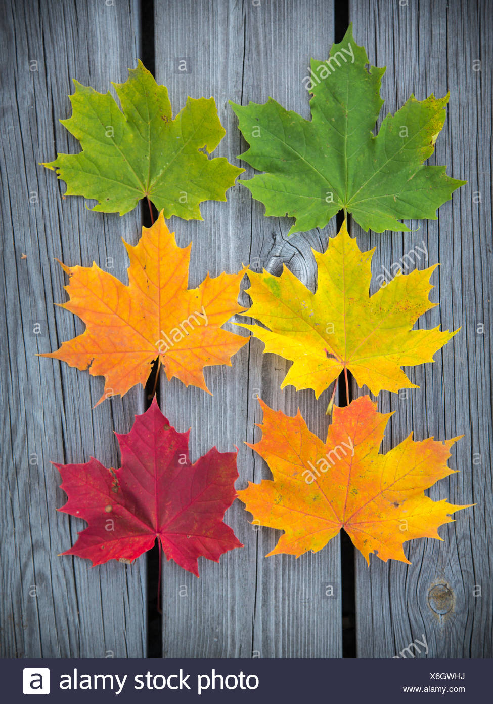 Six varicolored maple leaves arranged in rows on weathered wooden planks - Stock Image