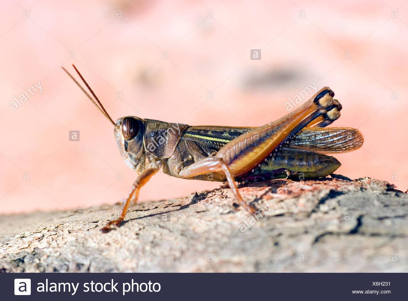 Clover grasshopper (Eyprepocnemis plorans), sitting on a rock, France, Corsica, St.Florent/Neben Dolce Aqua/Kors - Stock Image