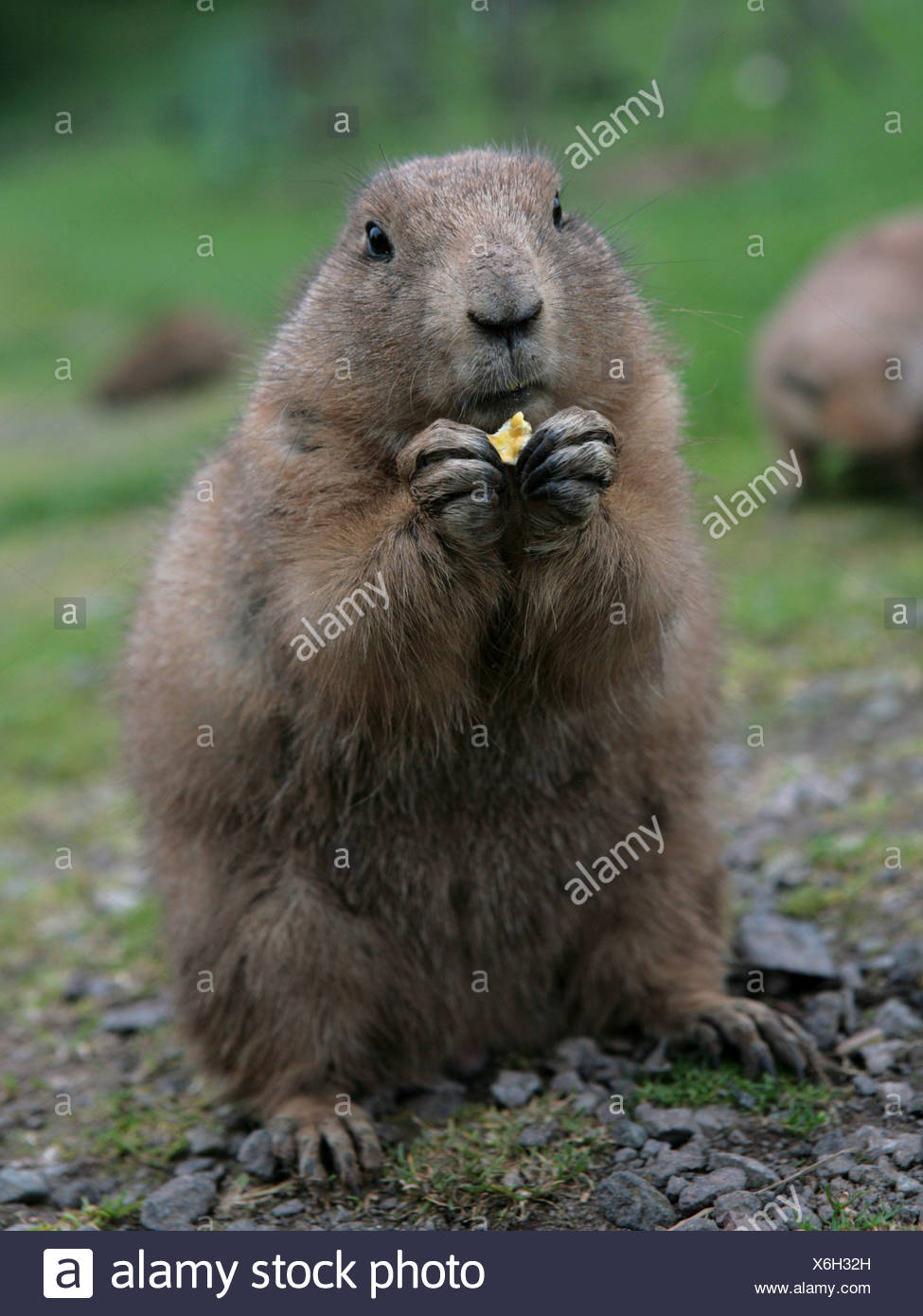 A prairie dog eating, using his paws. - Stock Image
