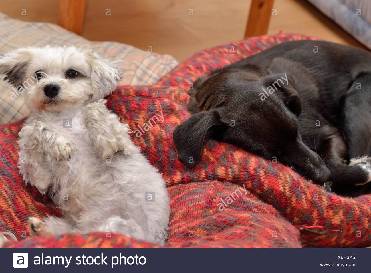 Two dogs are in the dog bed - Stock Image
