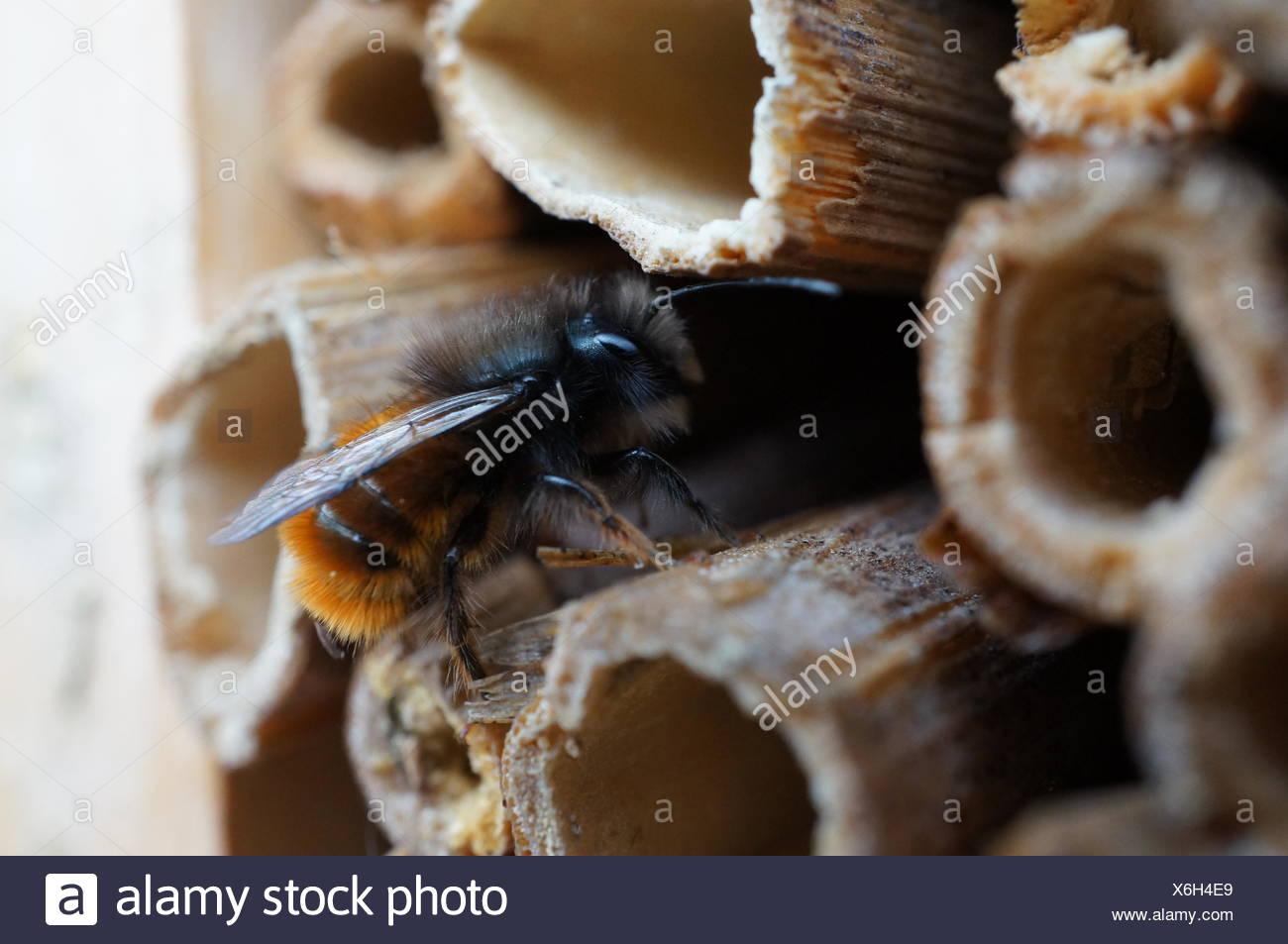 fruhlingsbote wild bee - Stock Image